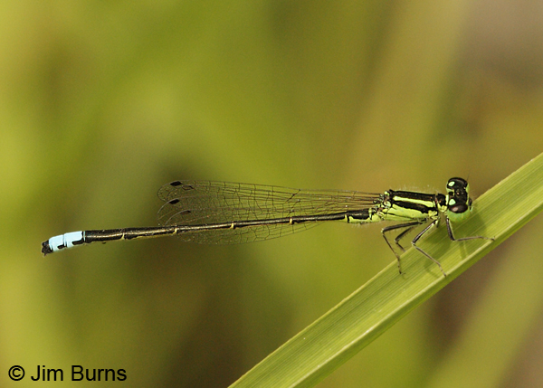 Eastern Forktail male, Adams Co., PA, September 2012