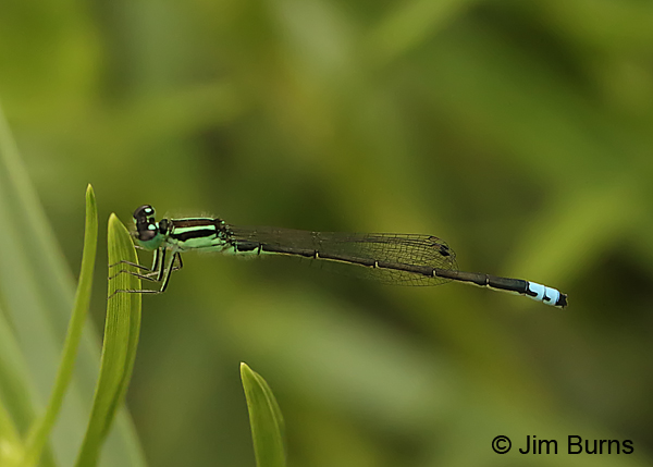 Eastern Forktail male, Huntingdon Co., PA, June 2015