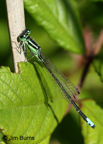 Eastern Forktail male, Ozaukee Co., WI, July 2017