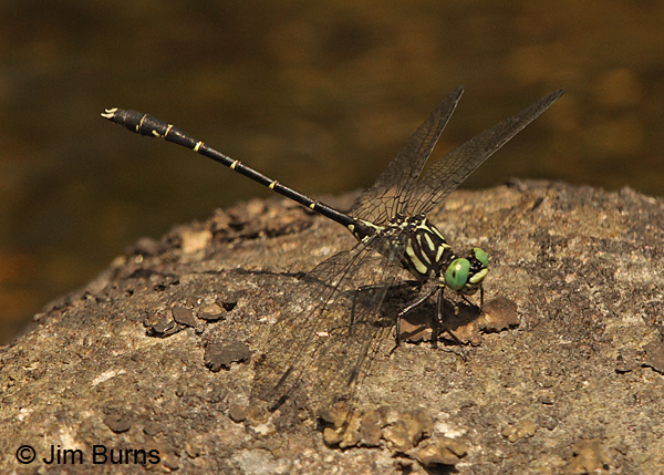 Eastern Least Clubtail male #2, Caledonia Co., VT, July 2014