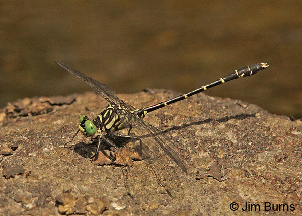 Eastern Least Clubtail male, Caledonia Co., VT, July 2014