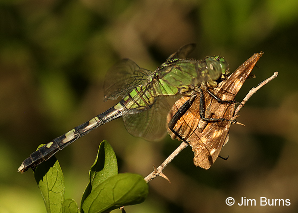 Eastern Pondhawk immature female eating American Snout, Hidalgo Co., TX, October 2016