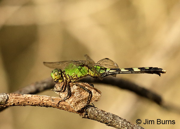 Eastern Pondhawk immature female eating American Snout, Cameron Co., TX, October 2016