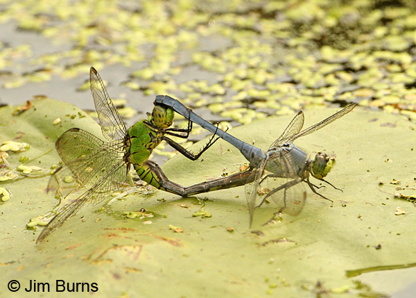 Eastern Pondhawk pair in wheel, Adams Co., PA, September 2012