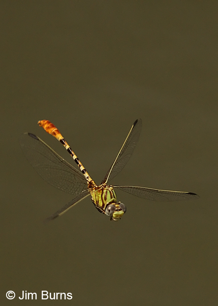 Eastern Ringtail male in flight, Gonzales Co., TX, August 2013