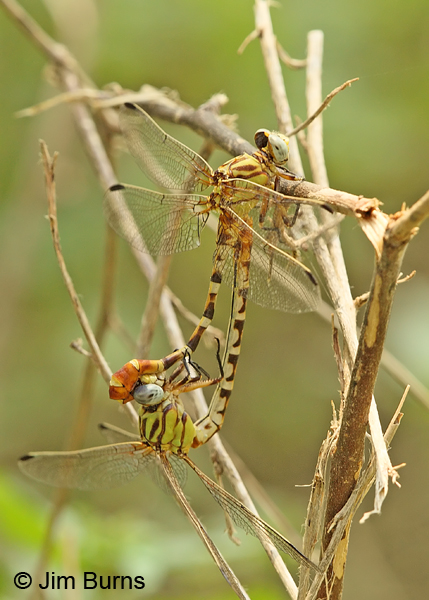 Eastern Ringtail pair in wheel, Gonzales Co., TX, August 2013