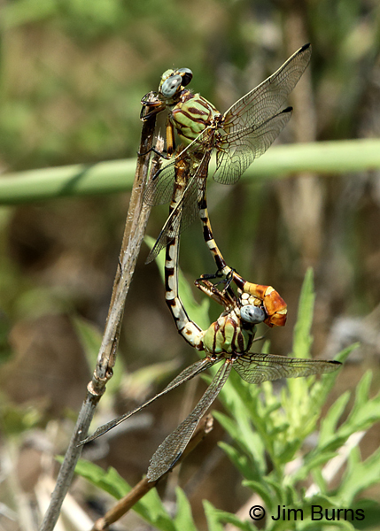 Eastern Ringtail pair in wheel, Real Co., TX, August 2017