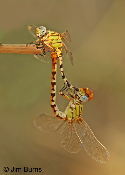Eastern Ringtail pair in wheel, Real Co., TX, September 2013