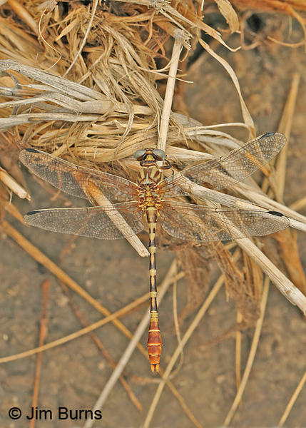 Eastern Ringtail southwestern male dorsal view, Chaves Co., NM, September 2014