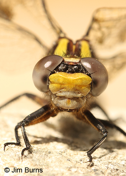 Edmund's Snaketail teneral female face shot close up, Oconee Co., SC, May 2014