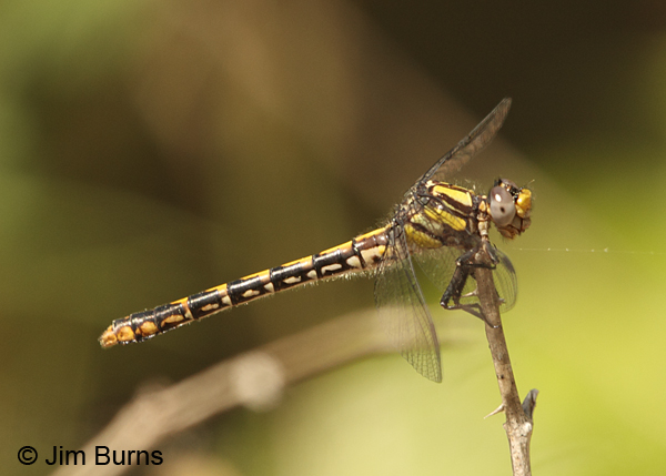 Edmund's Snaketail immature female, Oconee Co., SC, May 2014