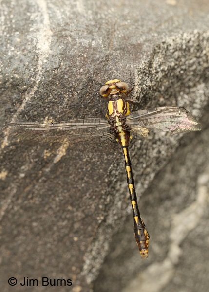Edmund's Snaketail teneral male dorsal view, Oconee Co., SC, May 2014