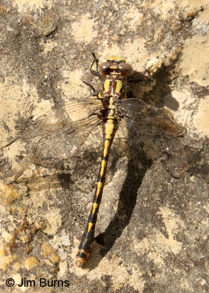 Edmund's Snaketail teneral female dorsal view, Oconee Co., SC, May 2014