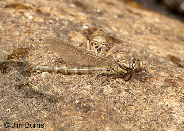 Edmund's Snaketail teneral female and exuvia, Oconee Co., SC, May 2014