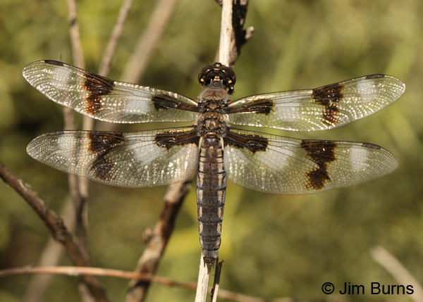 Eight-spotted Skimmer female, Apache Co., AZ, August 2012