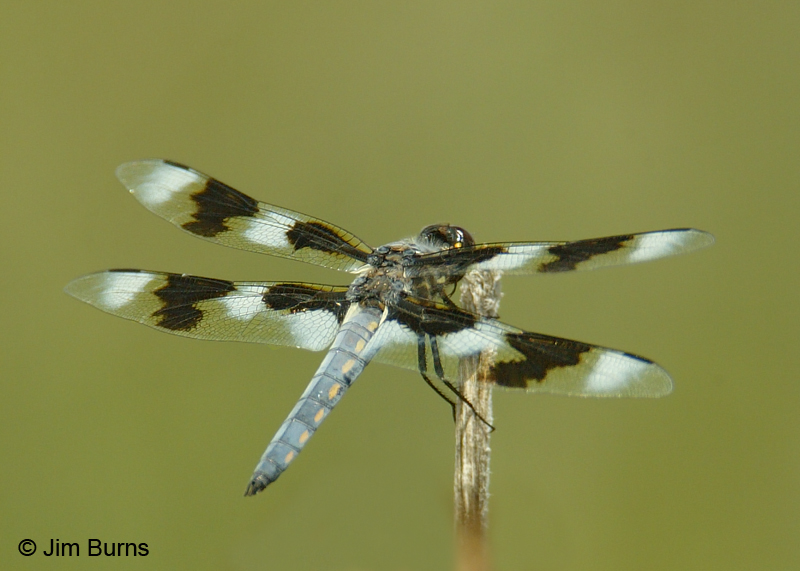 Eight-spotted Skimmer female, Cochise Co., AZ, August 2007