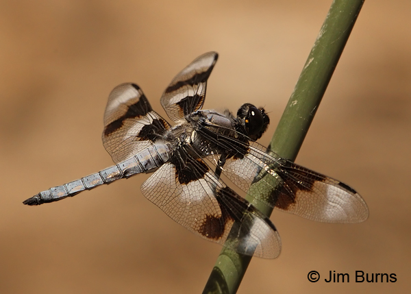 Eight-spotted Skimmer male, Navajo Co., AZ, June 2012