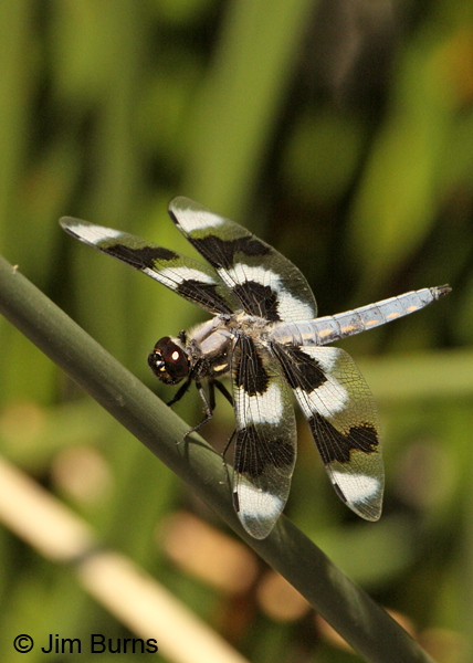 Eight-spotted Skimmer male, Apache Co., AZ, August 2012