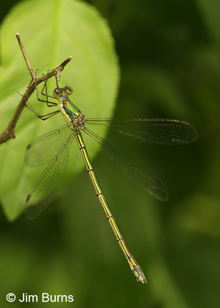 Elegant Spreadwing female, Washington Co., MN, June 2014