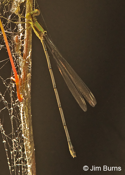 Elegant Spreadwing immature female on vine, Chesterfield Co., SC, May 2014