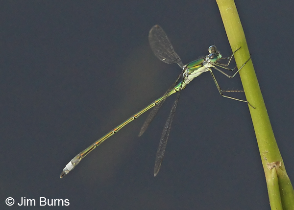 Elegant Spreadwing male, Rockingham Co., NH, June 2014