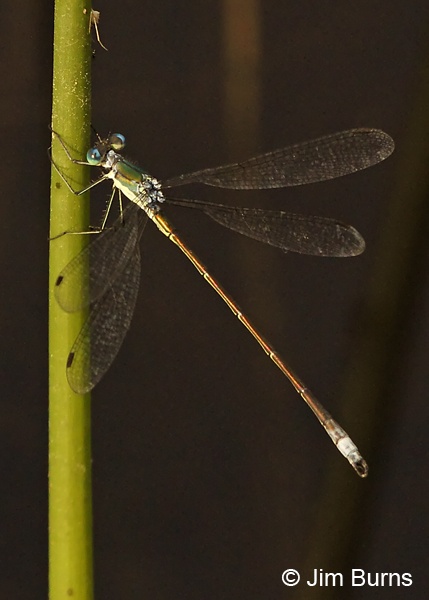 Elegant Spreadwing male #2, Rockingham Co., NH, June 2014