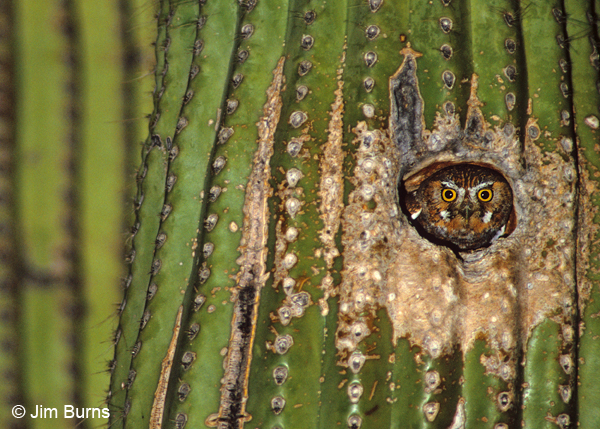 Elf Owl in saguaro hole