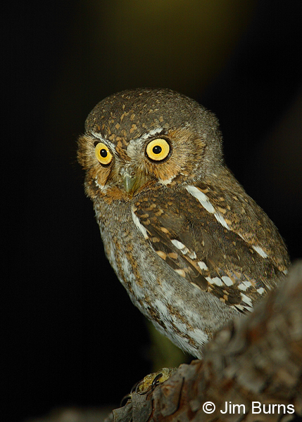 Elf Owl loral feathers extending into eyebrows