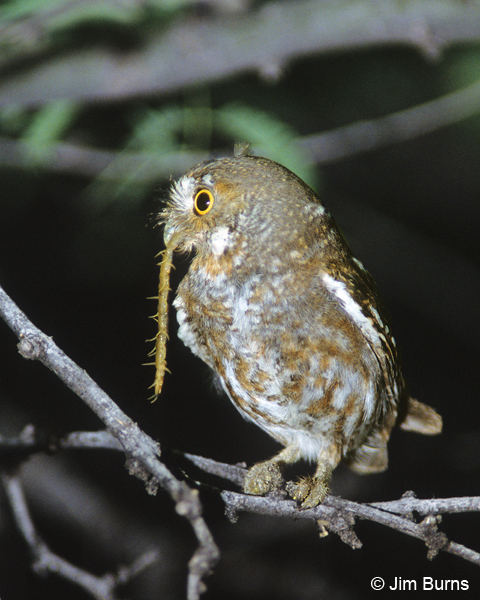 Elf Owl with centipede