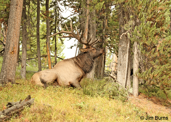 Elk at rest #2