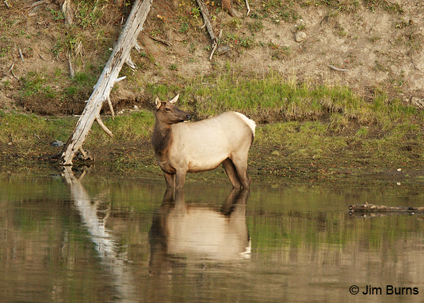 Elk cow in water