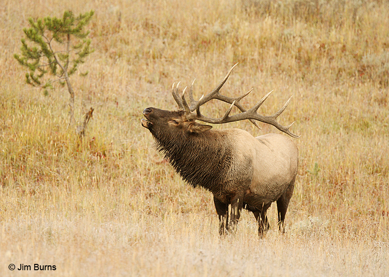 Elk bull bugling in meadow
