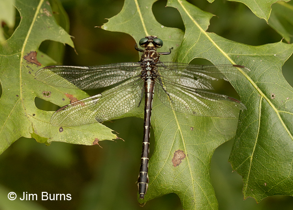 Elusive Clubtail female dorsal view, Kankakee Co., IL, September 2017
