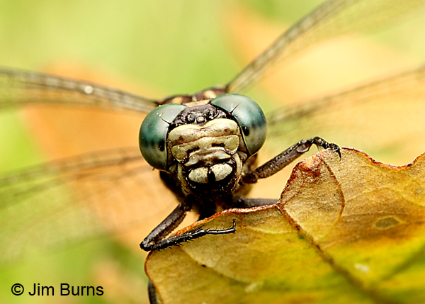 Elusive Clubtail female face shot, Kankakee Co., IL, September 2017