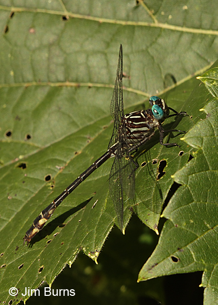 Elusive Clubtail male, Hennepin Co., MN, September 2016