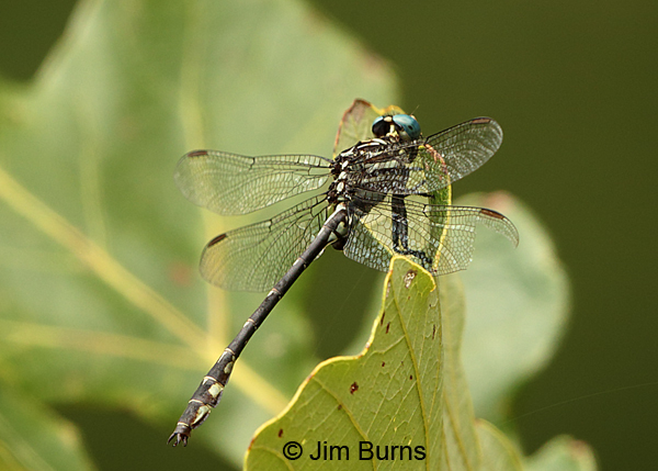 Elusive Clubtail male, Kankakee Co., IL, September 2017