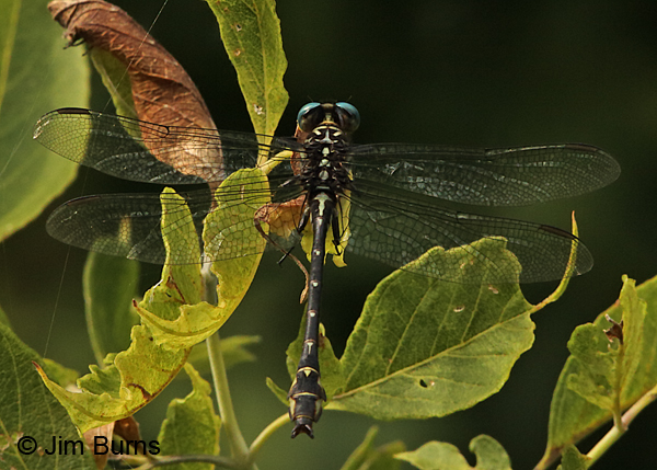 Elusive Clubtail male #2 dorsal view, Hennepin Co., MN, September 2016.