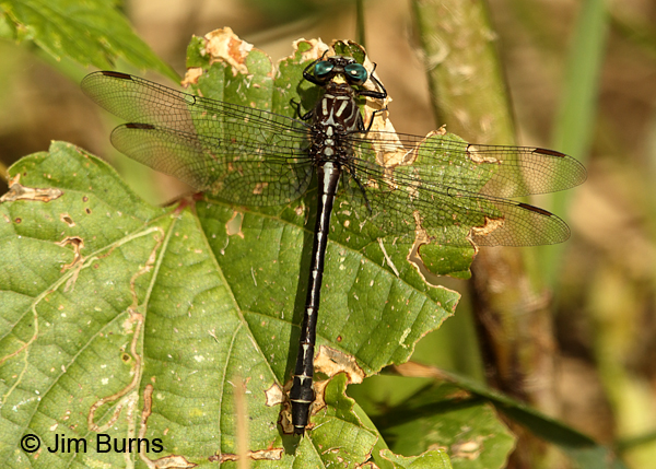 Elusive Clubtail male dorsal view #2, Hennepin Co., MN, September 2016