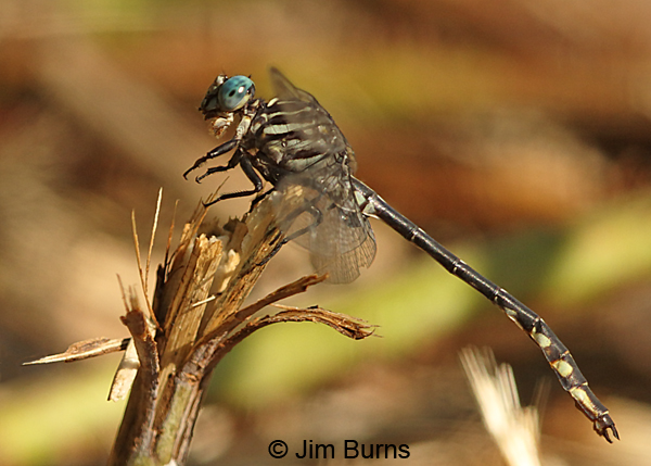 Elusive Clubtail male eating small fly, Hennepin Co., MN, September 2016