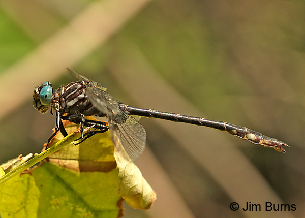 Elusive Clubtail male lateral view, Hennepin Co., MN, September 2016