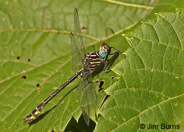 Elusive Clubtail male looking up at camera, Hennepin Co., MN, September 2016