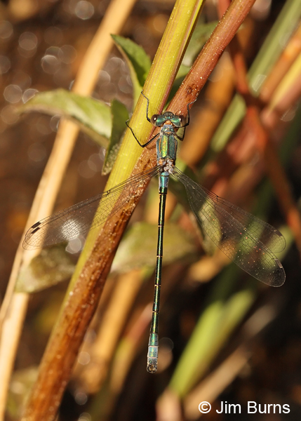 Emerald Spreadwing immature male, Coconino Co., AZ, June 2013