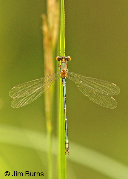 Emerald Spreadwing male, Rusk Co., WI, June 2014