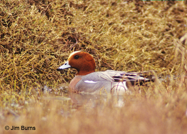 Eurasian Wigeon male in marsh