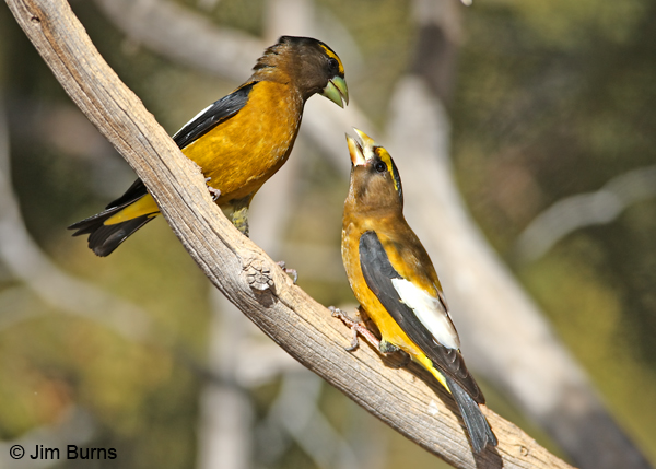 Evening Grosbeaks squabbling