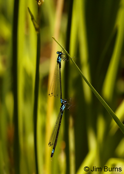 Exclamation Damsel pair hanging in tandem, Sonoma Co., CA, June 2018--9833
