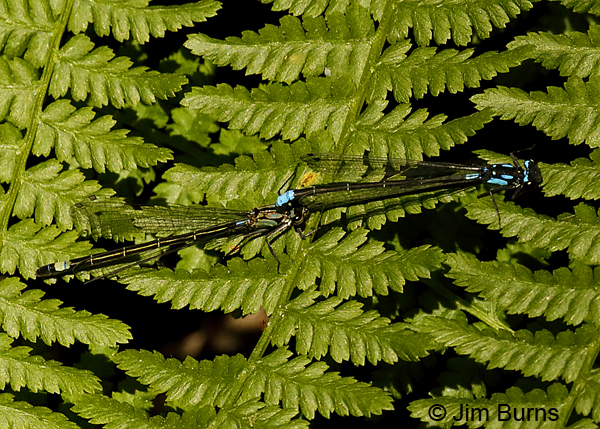Exclamation Damsel pair in tandem on Five-fingered Fern, Sonoma Co., CA, June 2018--9698