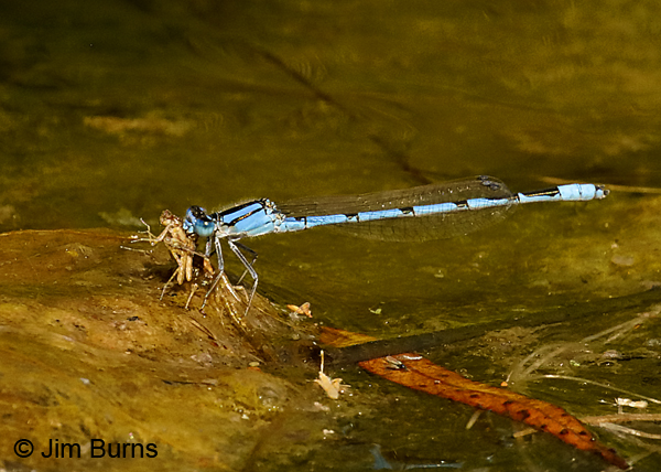 Familiar Bluet male eating teneral trapped in algae mat 8485