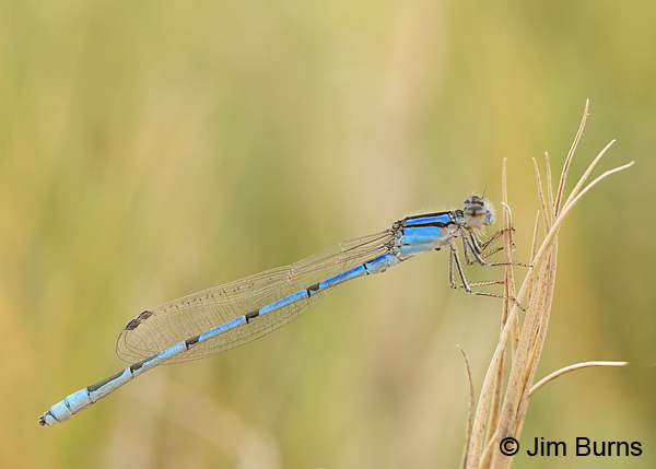 Familiar Bluet male, Chaves Co., NM, September 2014