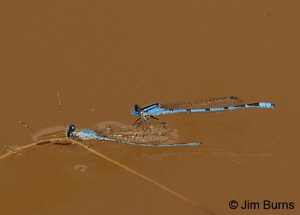 Familiar Bluet male perched on wings of floating, dead Familiar Bluet male, Pima Co., AZ, August 2014